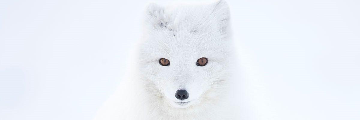 Silver Fox Stuffed Animal, Adopt An Arctic Fox Symbolic Animal Adoptions From Wwf