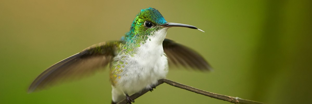 Emerald Hummingbird