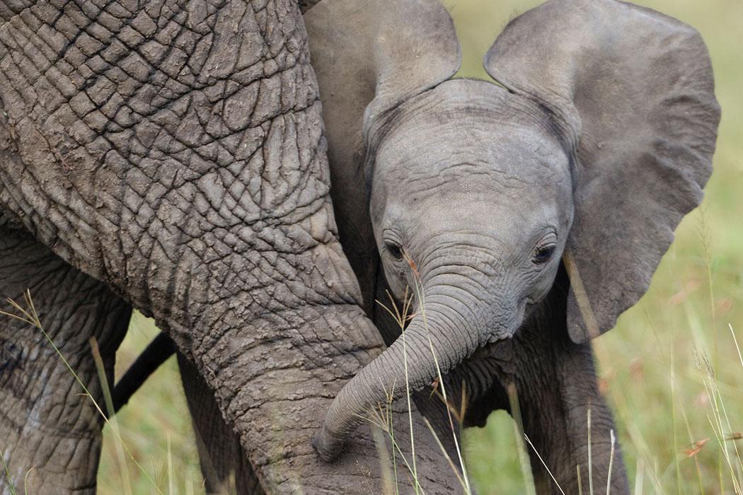 african elephant calf symbolic animal adoptions from wwf