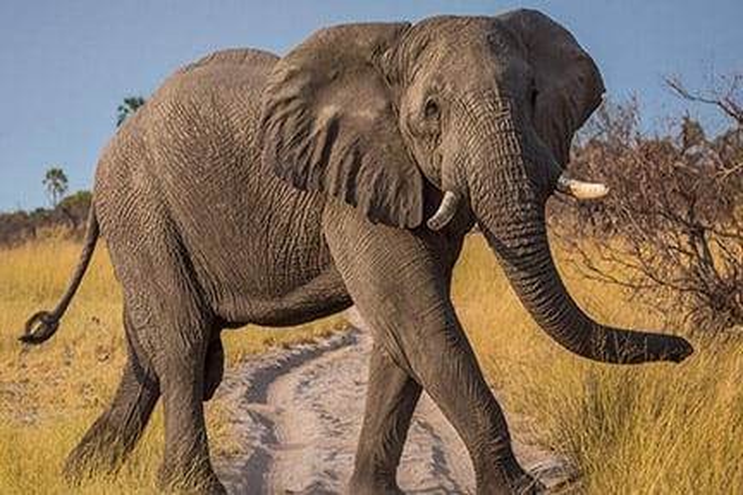 [Image: large-African-Elephant-photo.jpg]