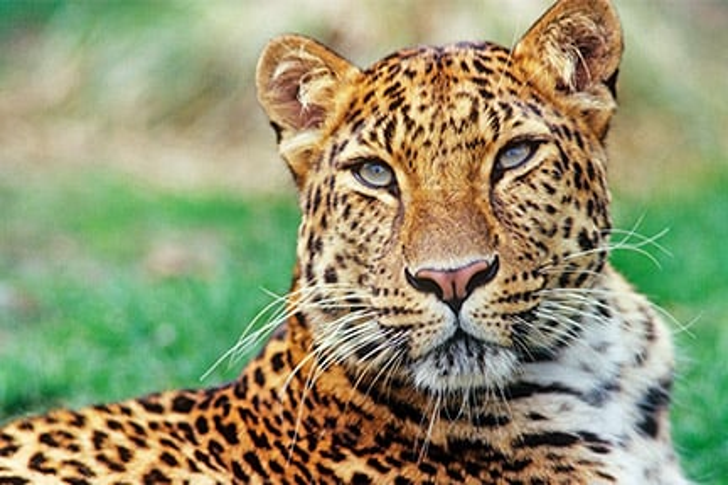 Adopt an Amur leopard | Symbolic animal adoptions from WWF