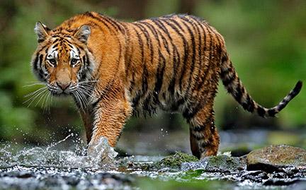 amur tiger symbolic animal adoptions from wwf