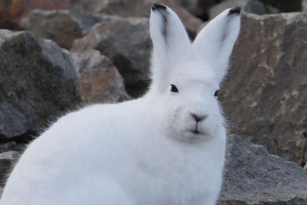 Arctic hare | Symbolic animal adoptions from WWF