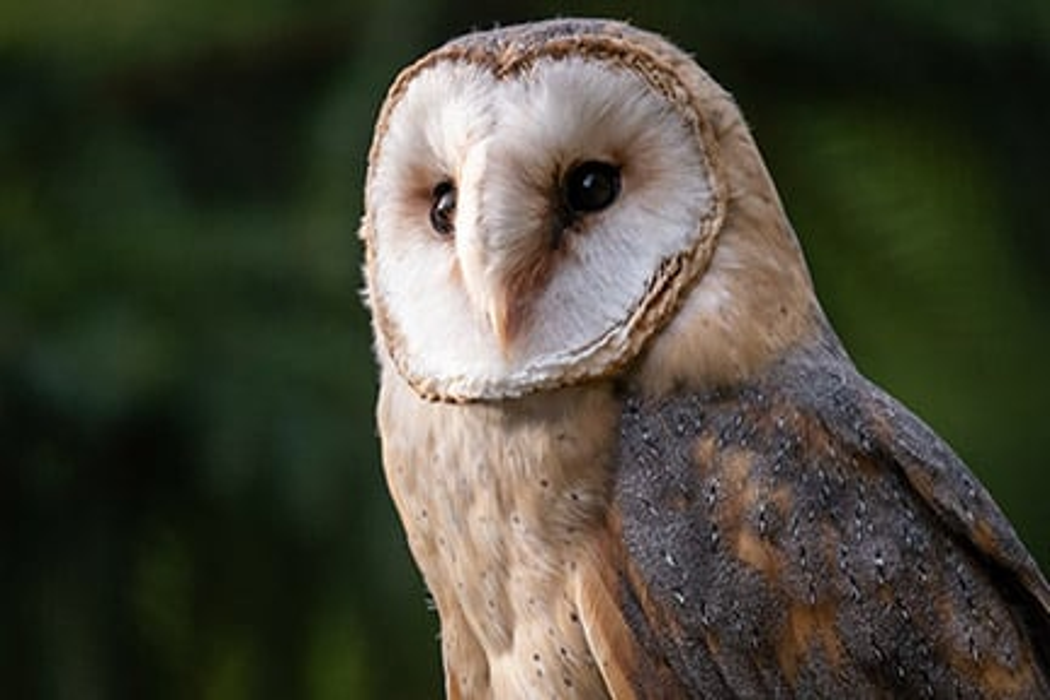 Adopt A Barn Owl Symbolic Animal Adoptions From Wwf