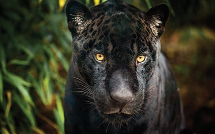 Nice Black Jaguar