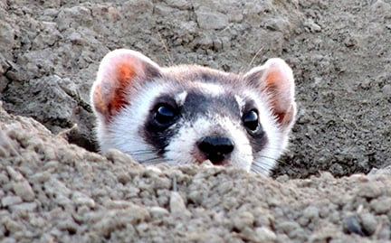 black footed ferrets Ferret: ferret, either of two species of carnivores, the common ferret and the black-footed ferret, belonging to the weasel family (mustelidae) the common ferret (mustela putorius furo) is a domesticated form of the european polecat, which it resembles in size and habits and with which it interbreeds.