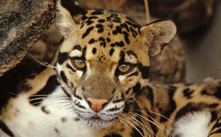 Adopt A Clouded Leopard Symbolic Animal Adoptions From Wwf
