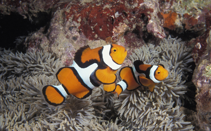 Clown fish symbolic animal adoptions from wwf for Adopt a fish