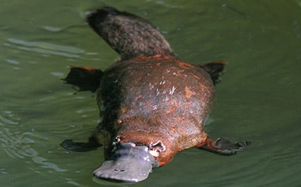 Duck-billed Platypus