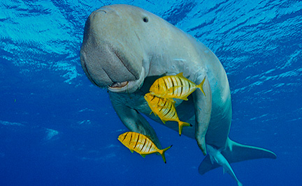 how to draw a dugong