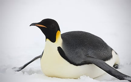 Save the Penguins from Increasing Ice! 'Emperor Penguins have to march an extra 35 km, due to Antarctic sea ice expansion'