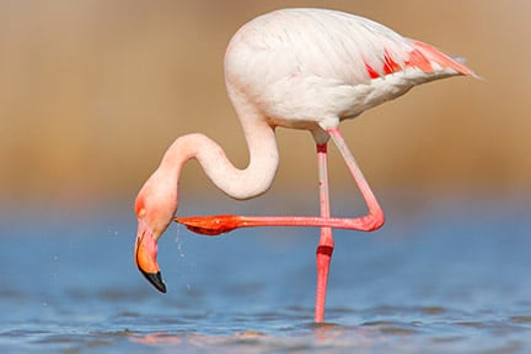 Adopt a flamingo | Symbolic animal adoptions from WWF