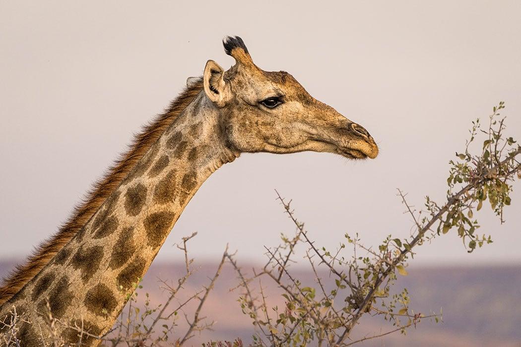 Giraffe Adopt a Giraffe