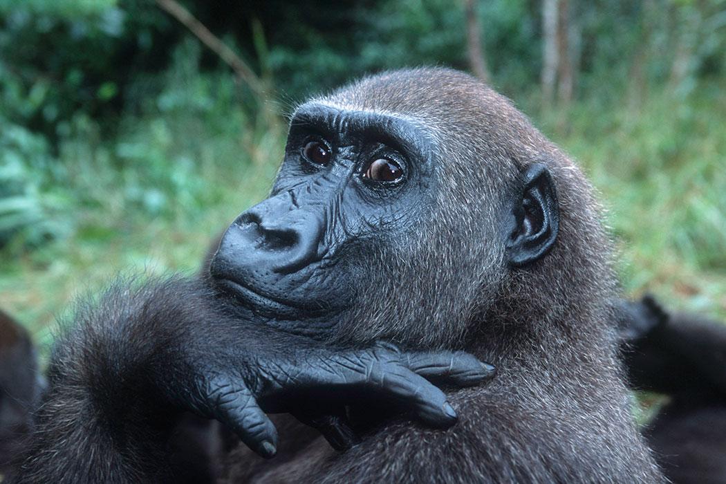 bedreigd :  Gorilla