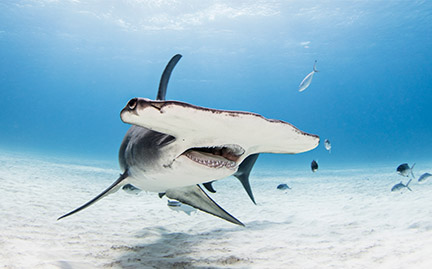Hammerhead shark - photo#13