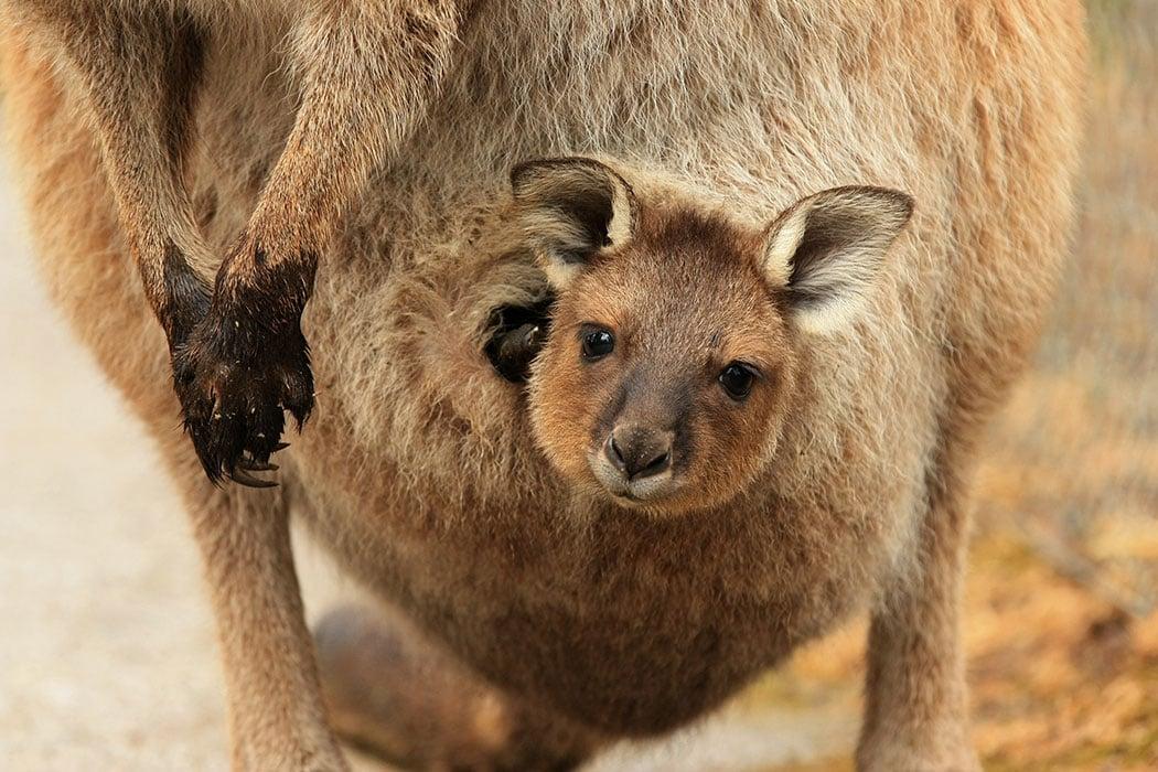 adopt a kangaroo symbolic animal adoptions from wwf