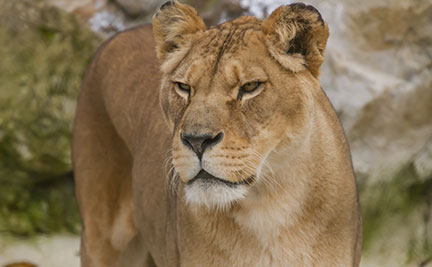 lioness symbolic animal adoptions from wwf
