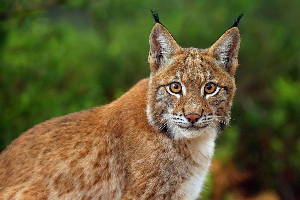 Lynx Animal Symbolic Adoptions From Wwf