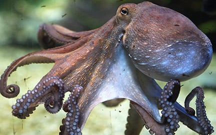 Octopus plush | Donation thank you gift | Adoptions from WWF