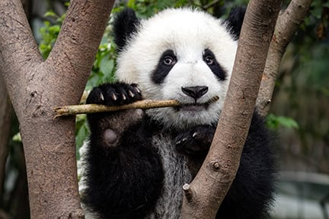 Adopt a panda | Symbolic animal adoptions from WWF on aspca panda, giant panda, biggest panda, japan panda, anime panda, animals panda, funny panda, cartoon panda, national wildlife federation panda, red panda, weed panda, huge panda, world wildlife fund panda, baby panda, wtf panda, african panda, enjoi panda, very cute panda, sad panda, bubble panda,