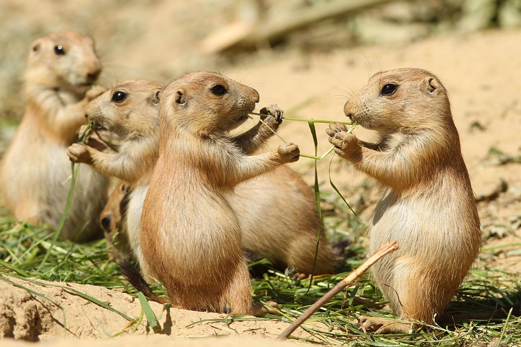 Prairie Dog Symbolic Animal Adoptions From Wwf