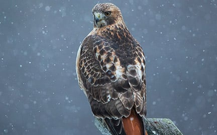 Adopt a red tailed hawk symbolic animal adoptions from wwf - Red tailed hawk wallpaper ...