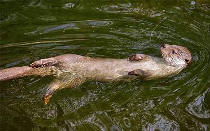 large-River-Otter-photo.jpg