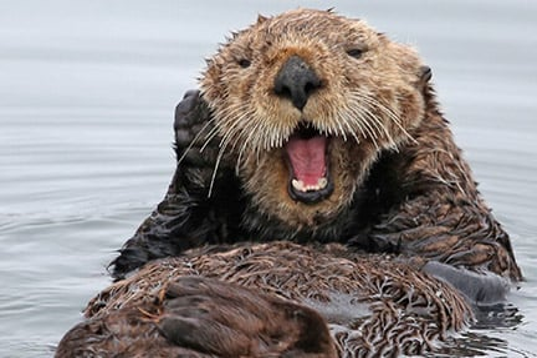 Adopt an Otter Gift Pack