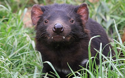 tasmanian devil symbolic animal adoptions from wwf