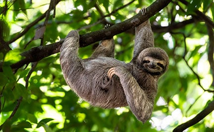 Three-toed sloth| Symbolic animal adoptions from WWF