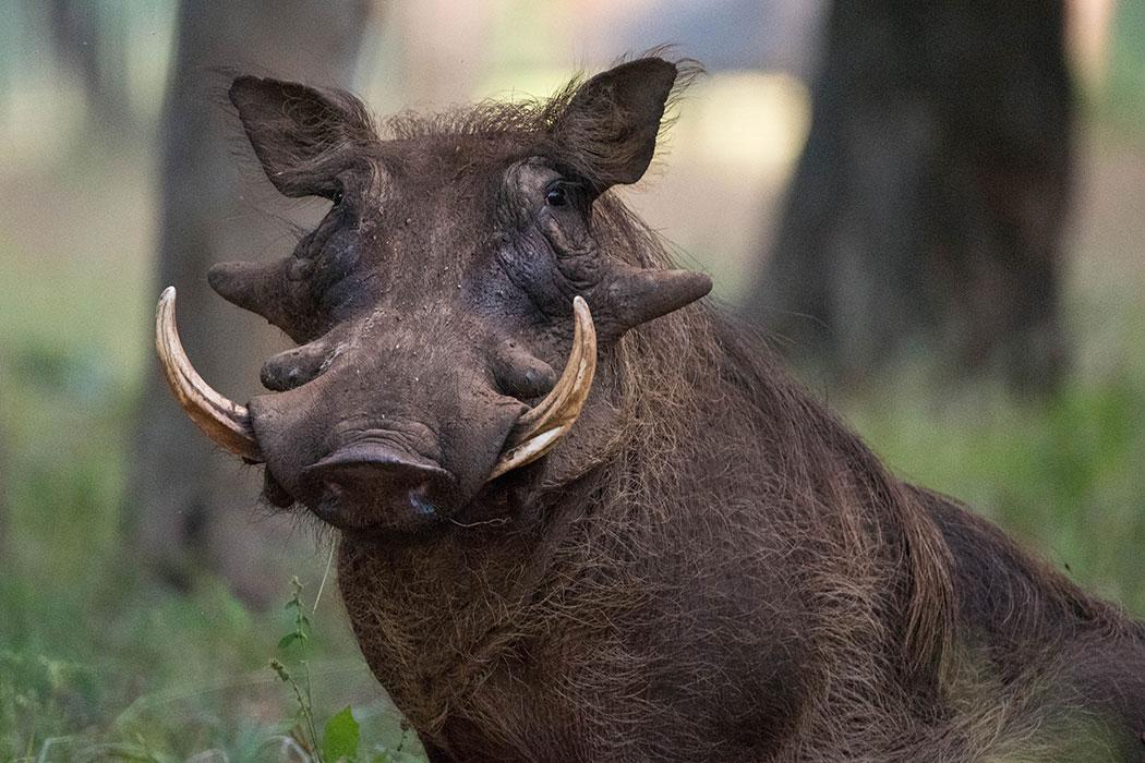 large-Warthog-photo.jpg