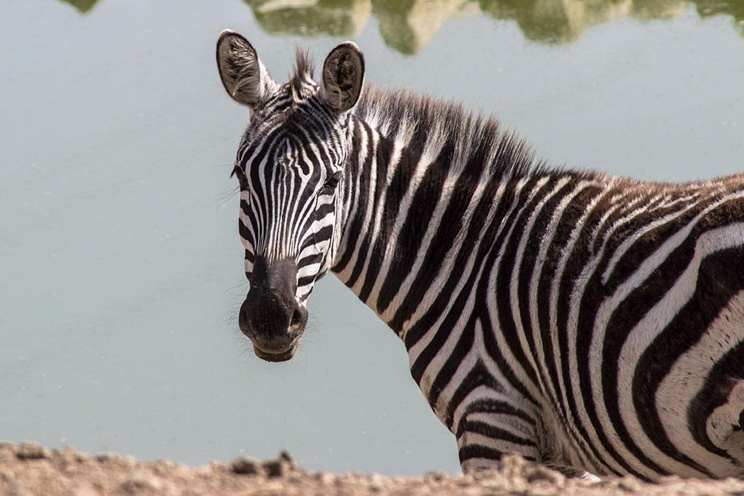 adopt a zebra symbolic animal adoptions from wwf