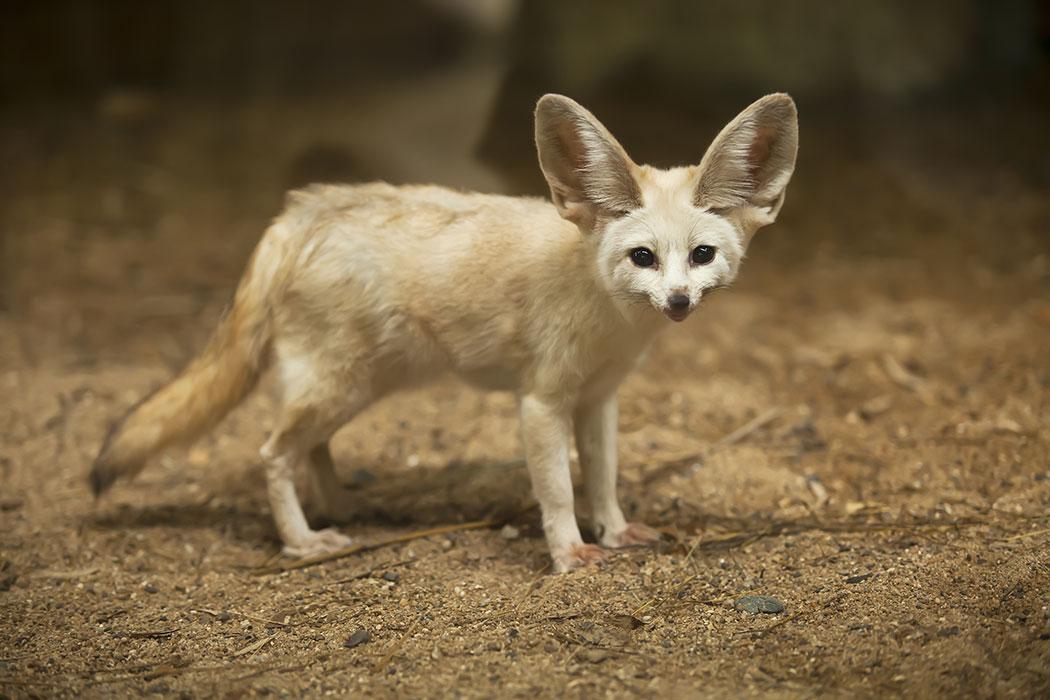 Adopt A Fennec Fox Symbolic Animal Adoptions From Wwf