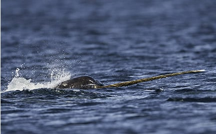 Adopt A Narwhal Symbolic Animal Adoptions From Wwf