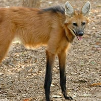 Red Maned Wolf