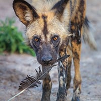 Adopt An African Wild Dog Symbolic Animal Adoptions From Wwf