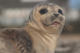 Harbor Seal