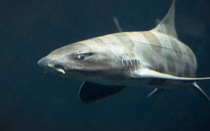 My baby zebra shark hatched out overnight! | Zebra shark ...  |Leopard Shark Babies